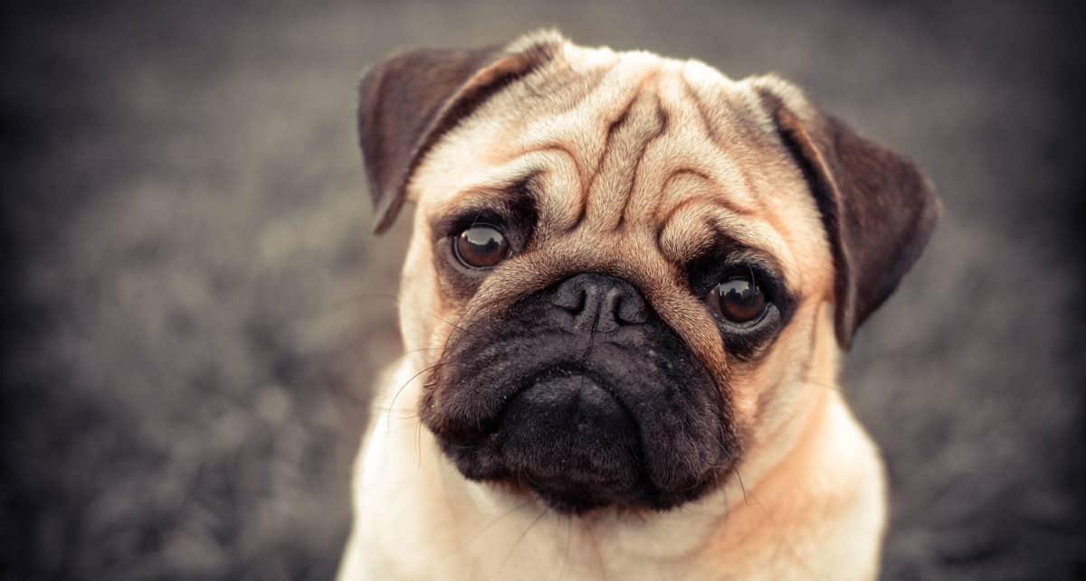Raças de cachorro pug