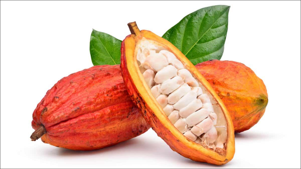 Frutos do cacaueiro representando a produção brasileira