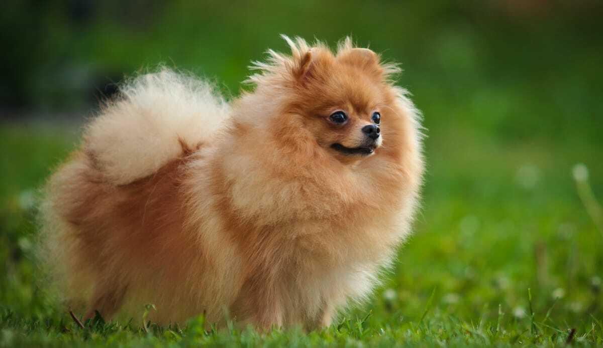 Raças de cachorro spitz alemão