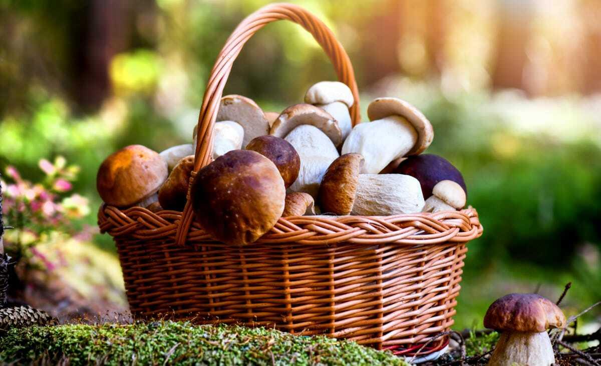 Colheita de cogumelos numa cesta