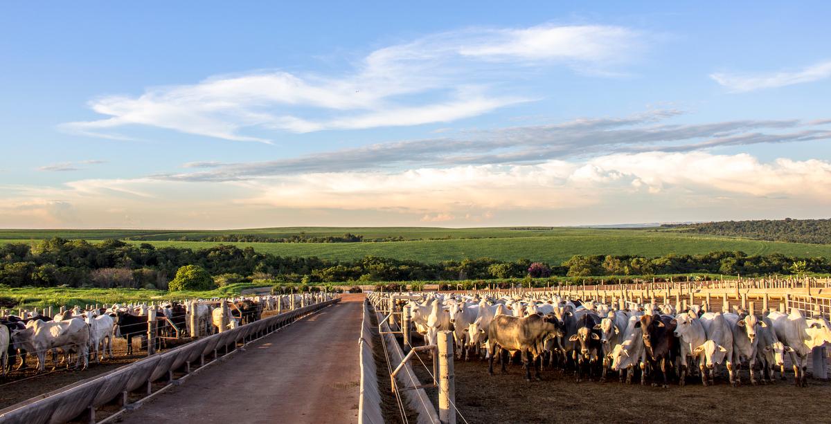 Gado confinado em sistema de pecuária intensiva.