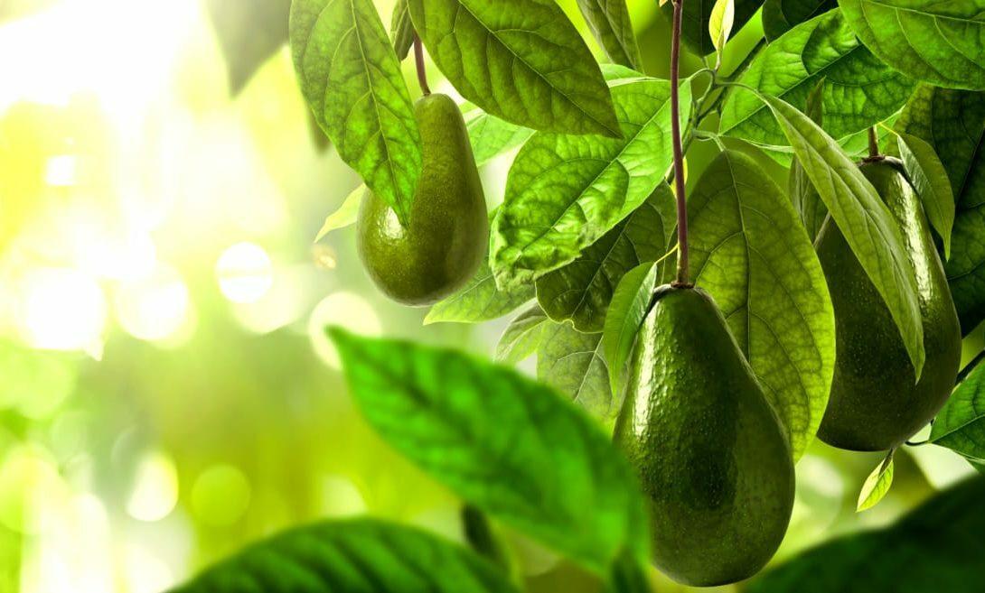 Abacateiro: conheça tudo sobre essa cultura