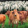 Red brahman e nelore: melhoramento genético é destaque em leilão