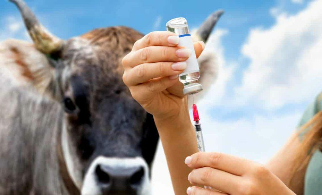 Vacinação do gado: conheça as práticas mais importantes