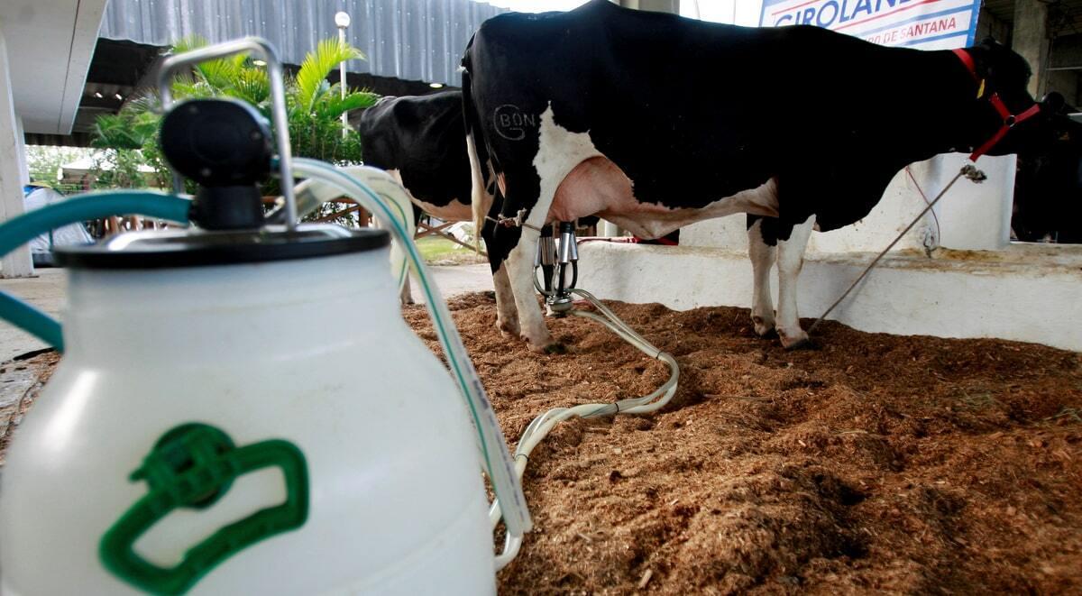 Vaca é ordenhada pelo sistema balde ao pé