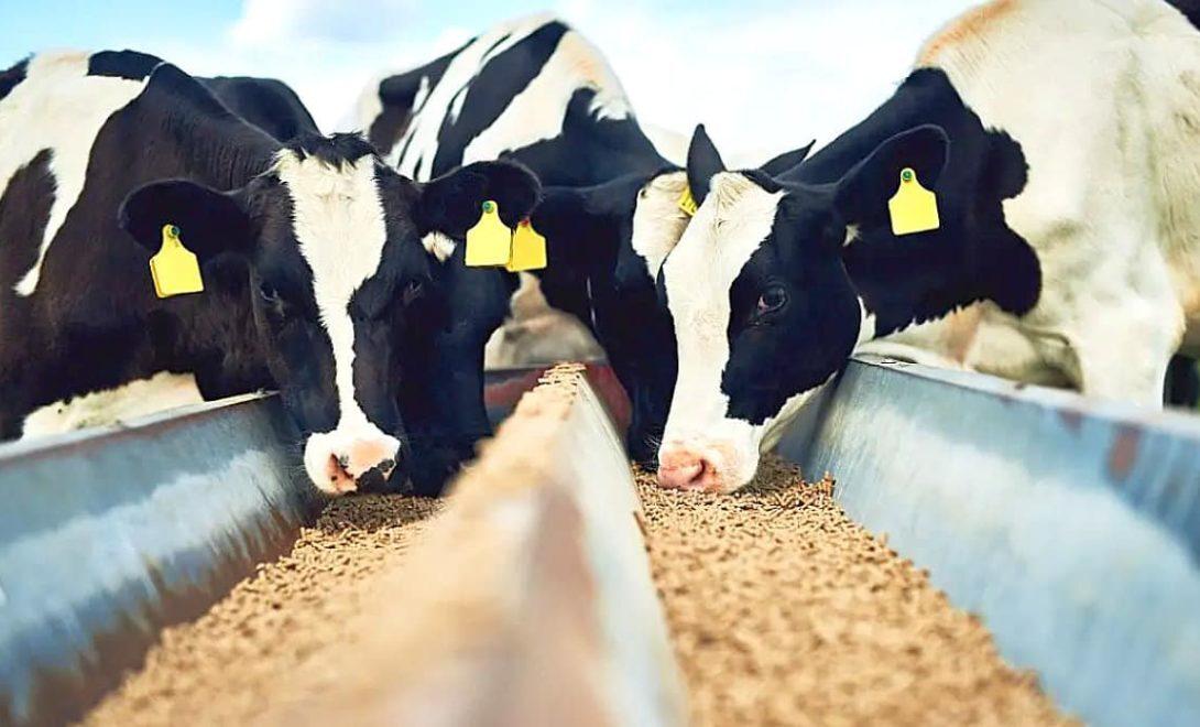 Ração para gado: como fazer a escolha