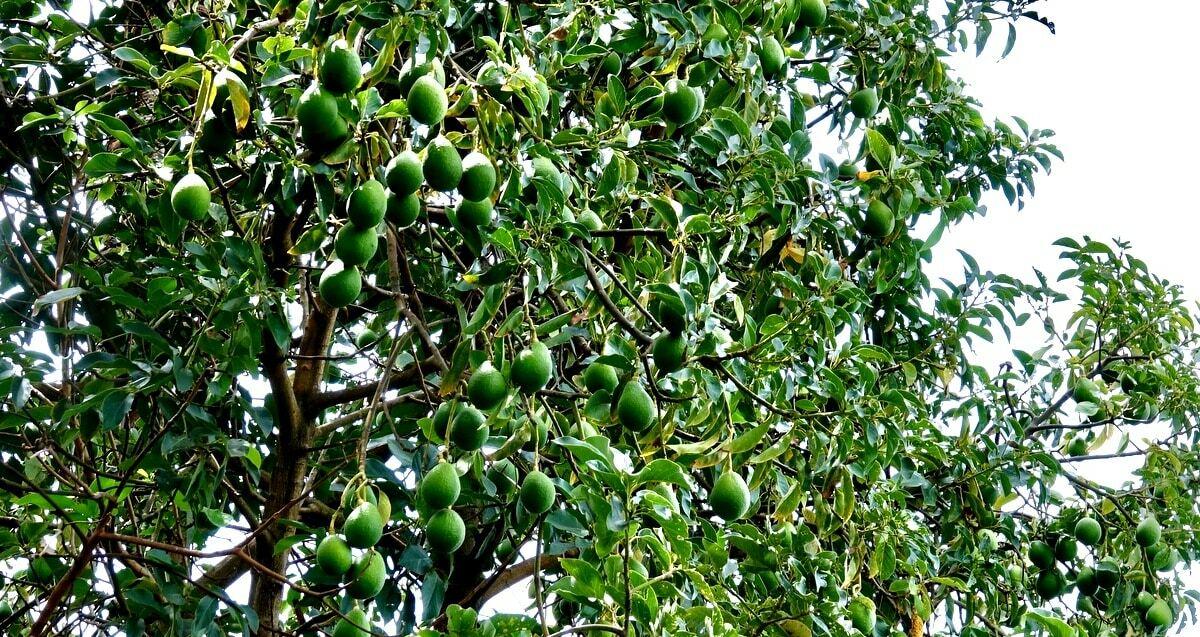 Abacateiro carregado de frutos