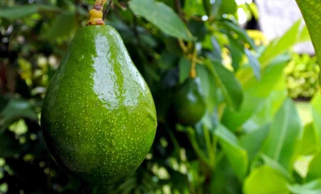 Abacateiro: confira os principais cuidados