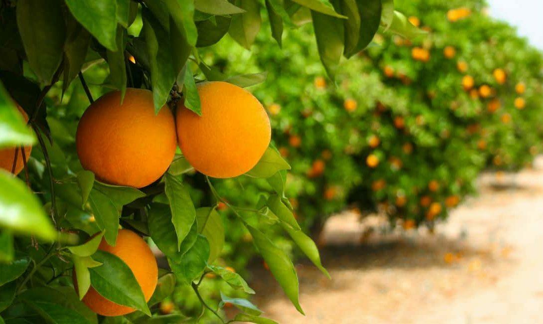 Greening: doença sem cura ameaça as lavouras de laranja