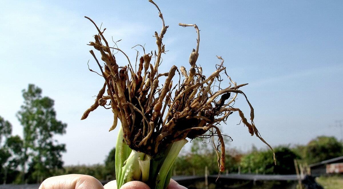 Produtor mostra raízes de plantas atacadas por nematoides