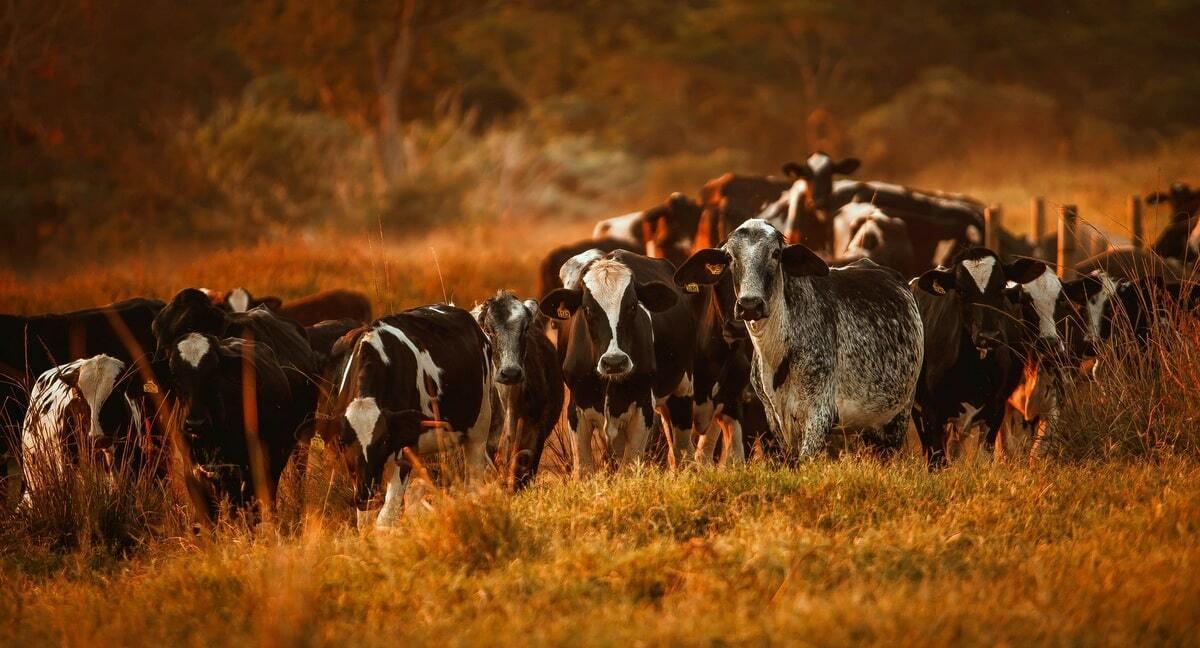 Criação de gado como atividade econômica