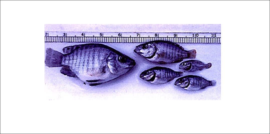 Arte mostrando a deficiência de vitamina C em peixes