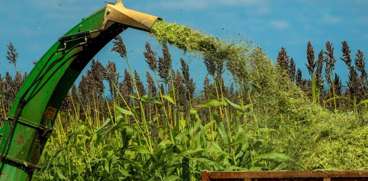 Processo de colheita de sorgo forrageiro para produção de silagem