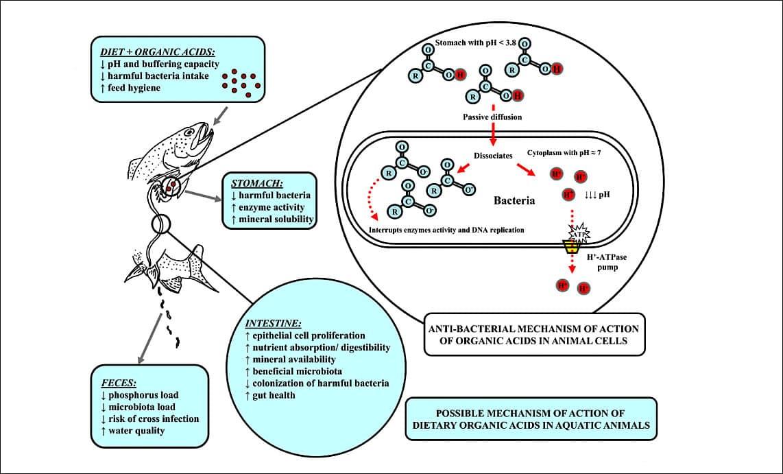 Aditivos Funcionais: ação dos ácidos orgânicos contra microorganismos patogênicos.