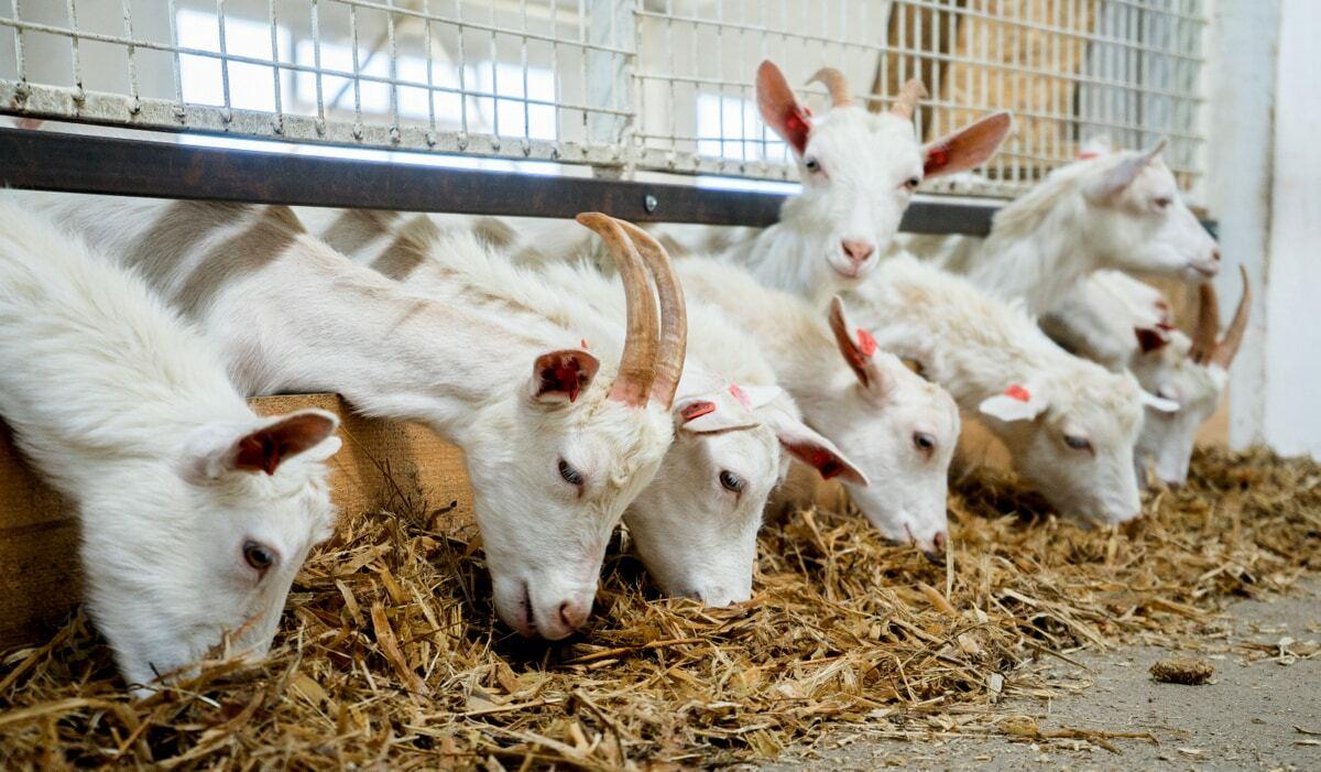 Vantagens na alimentação de caprinos