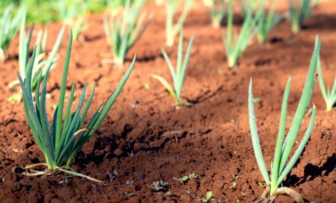 Cebolinha: confira como plantar até em casa