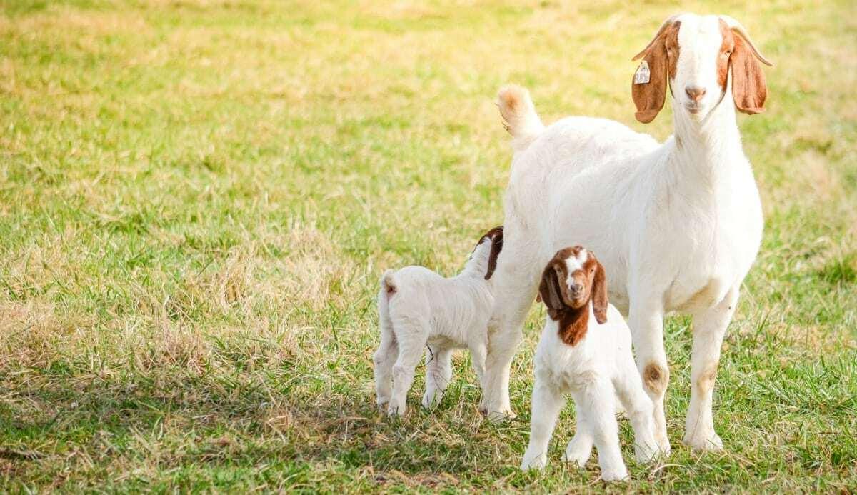 Filhotes de caprinos vantagens na produção