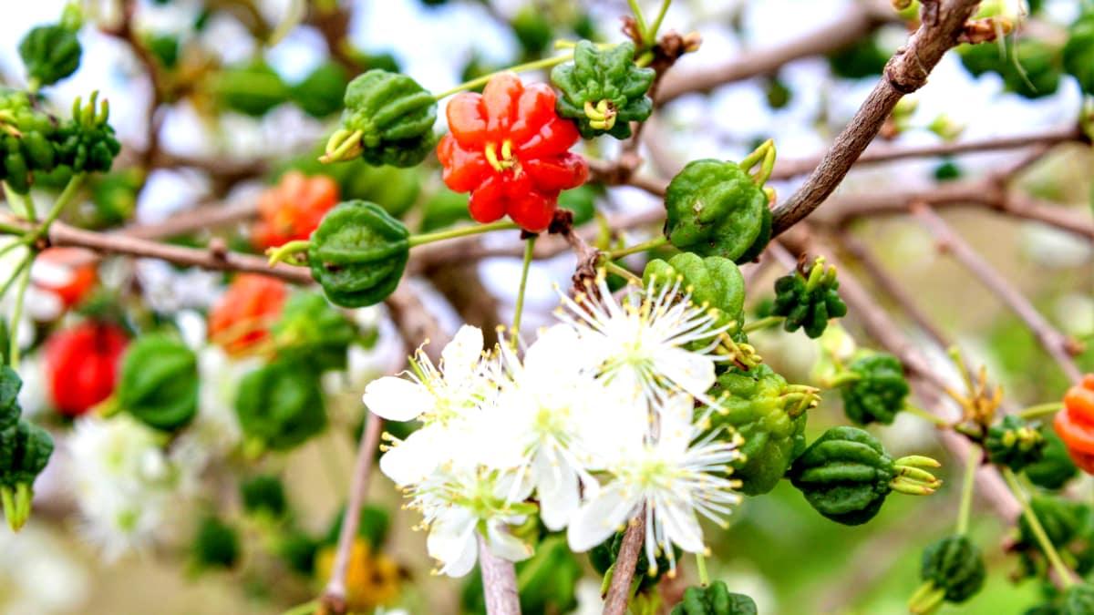 Flor da pitanga no pé