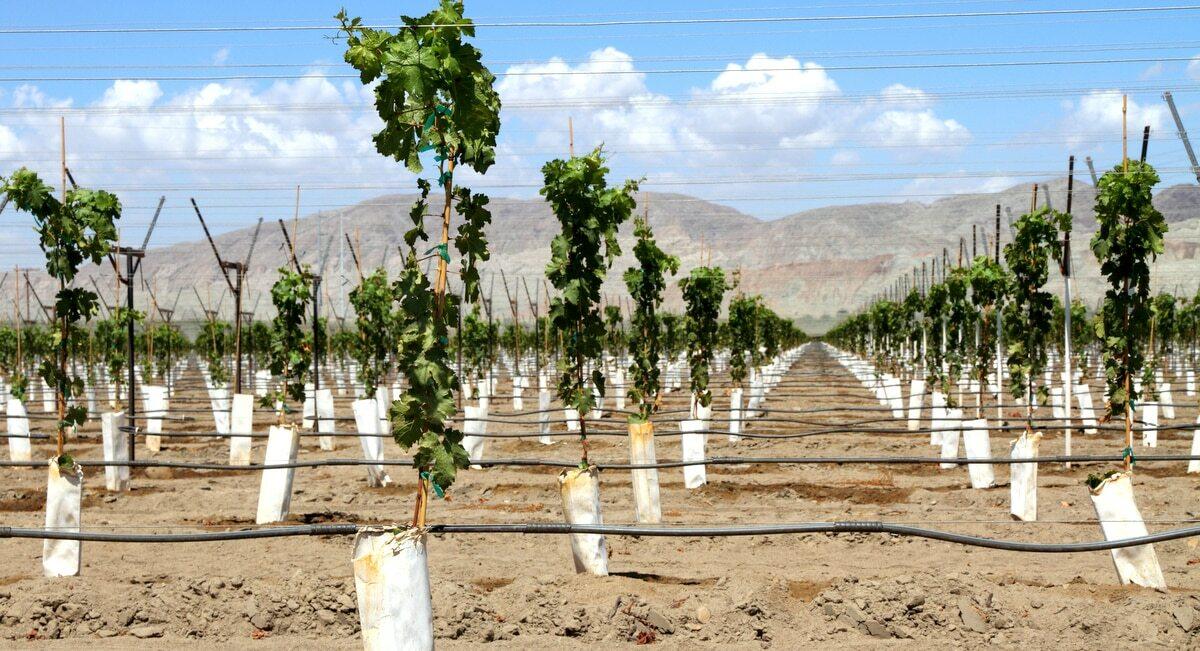 Plantio com sistema de irrigação por gotejamento