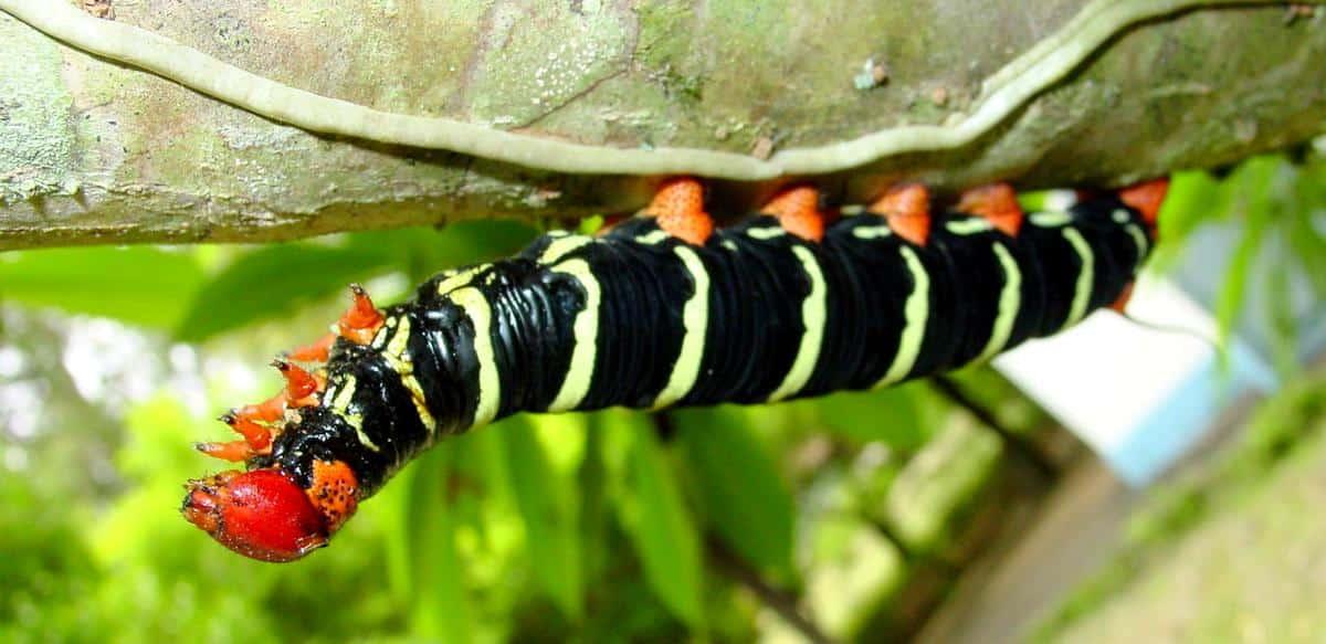 Controle biológico da lagarta do mandarová