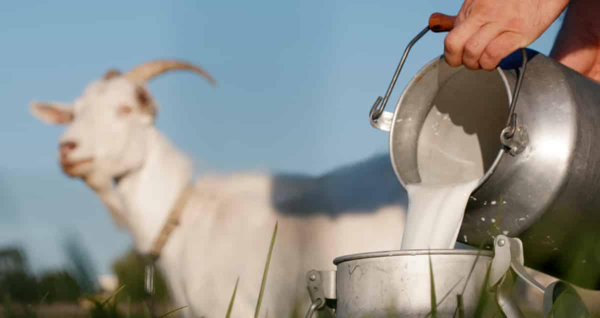 Produção de leite de cabra