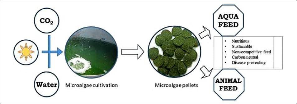 Aditivos Funcionais: microalgas alimento em rações