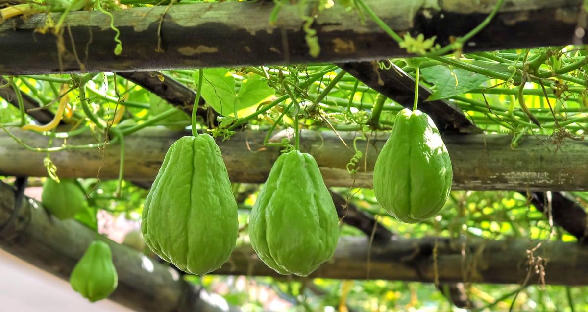 Parreira de chuchu com frutos
