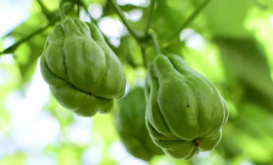 Chuchu: como plantar e seus benefícios à saúde