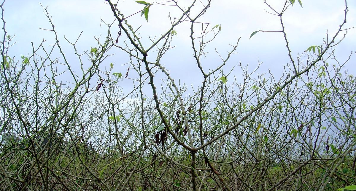 Plantio de mandioca atacada pelas lagartas