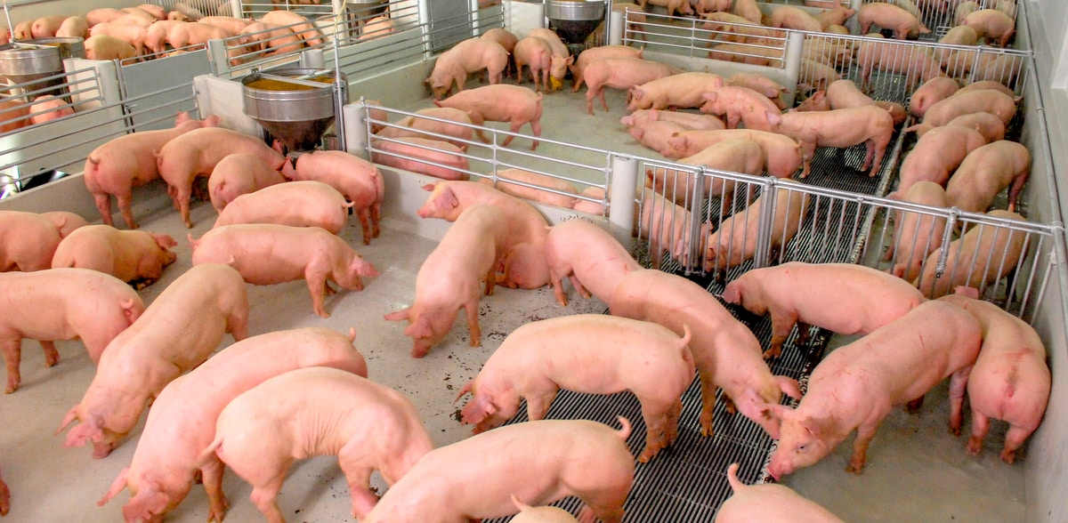 Aftosa na criação de suínos