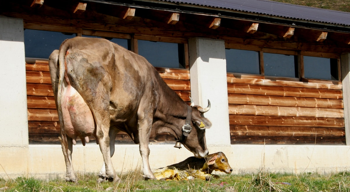 Vaca logo após o parto do bezerro
