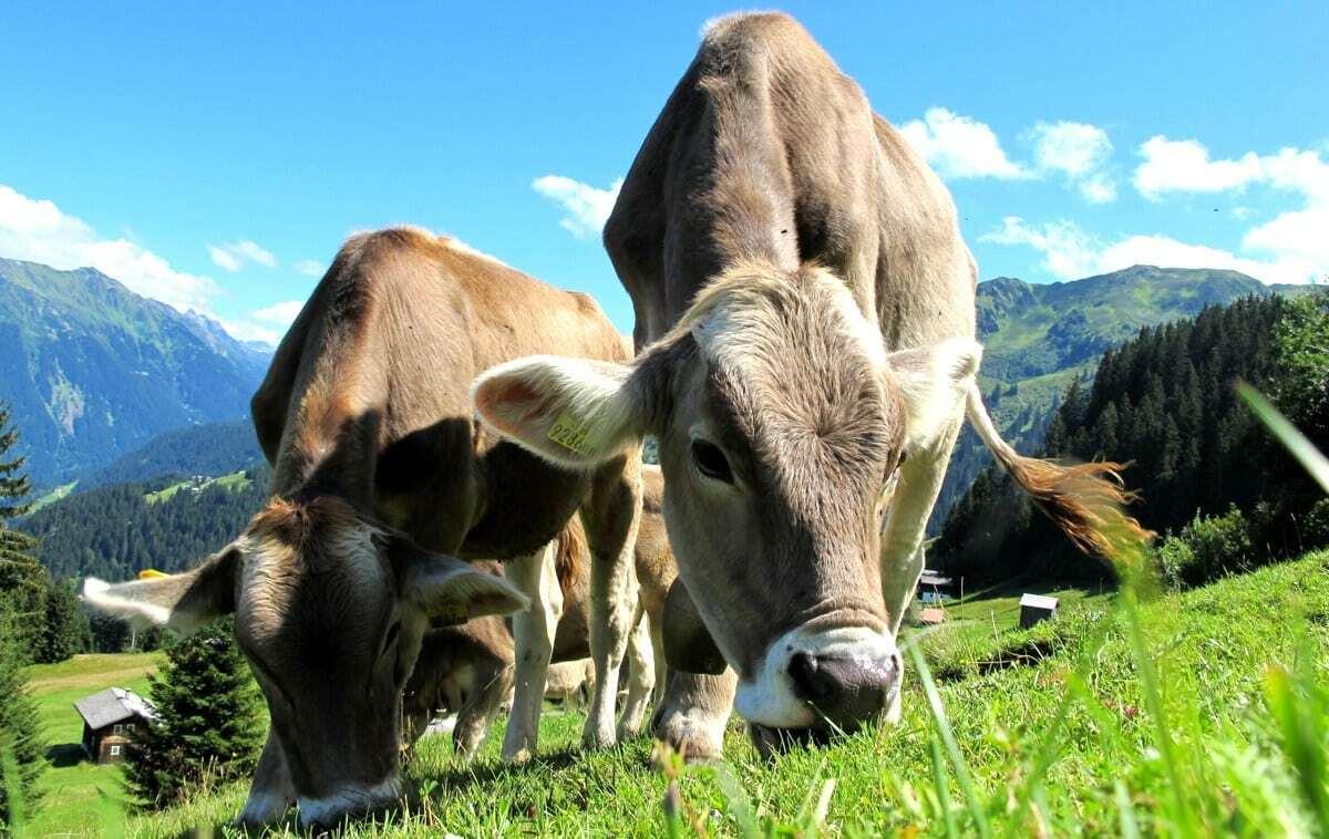 Rebanho bovino com qualidade