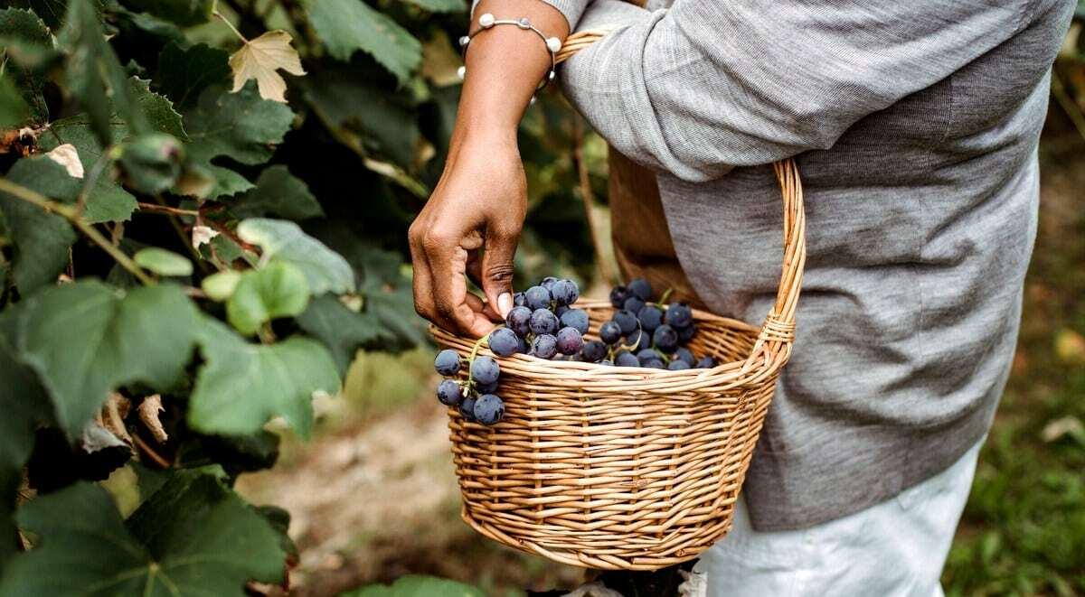 Colheita dos primeiros cachos de uva roxa