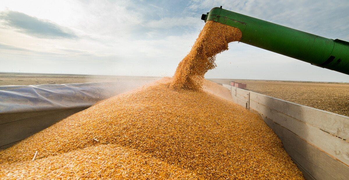 Colheita de milho durante a safrinha