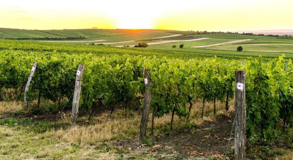 Plantação de uva no horizonte