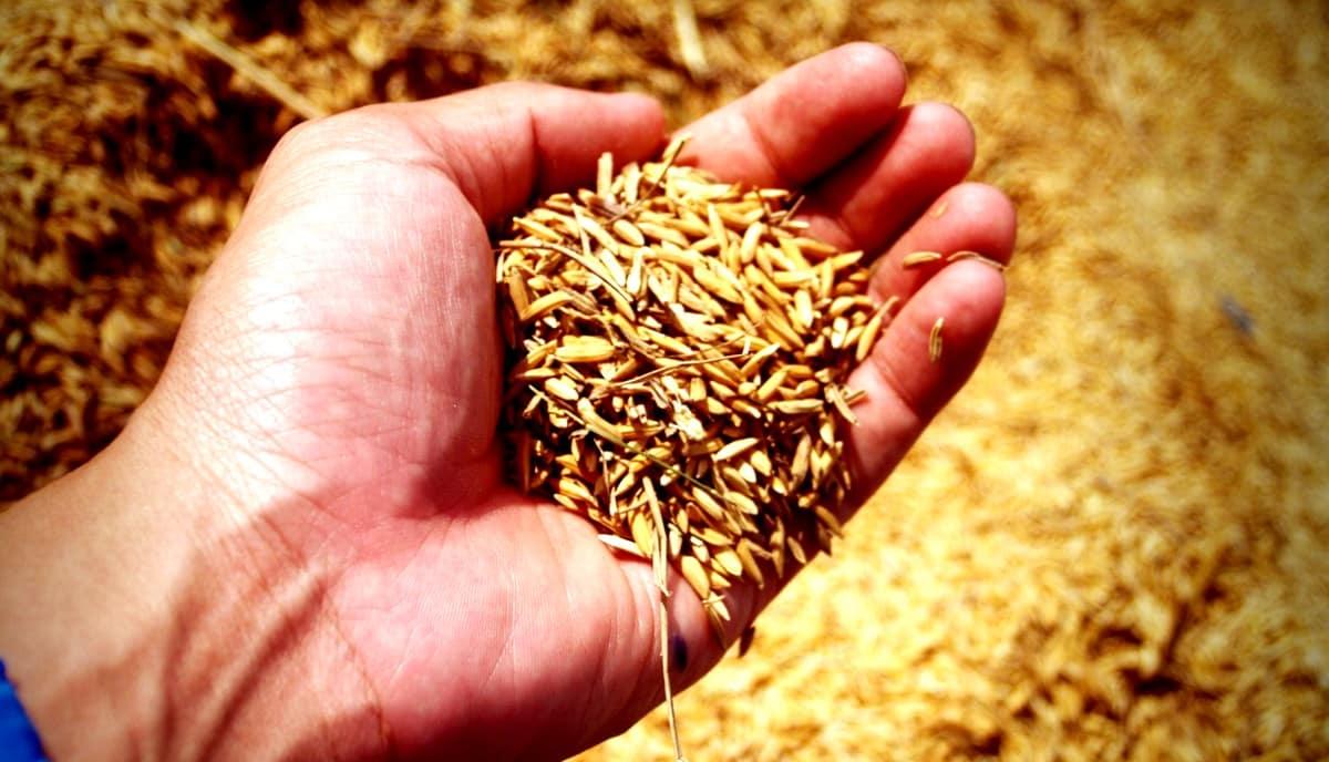 Agricultor analisando sua colheita
