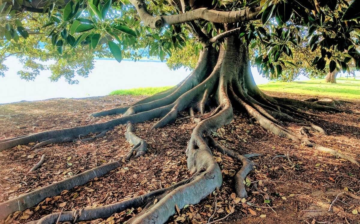 Árvore com raízes expostas