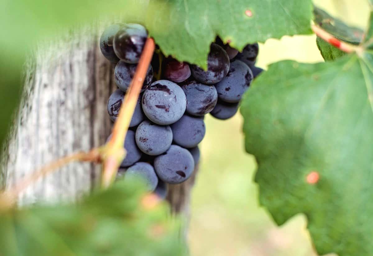 Cacho de uma uva roxa