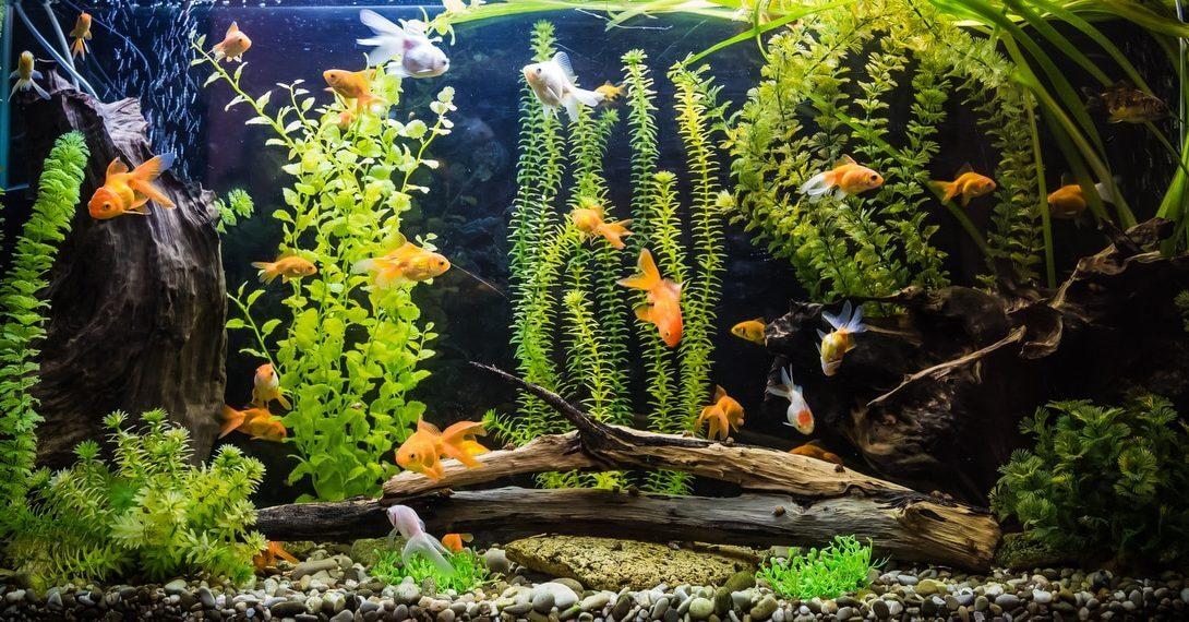 Aquário com criação de peixes ornamentais. Destaque da aquicultura ornamental