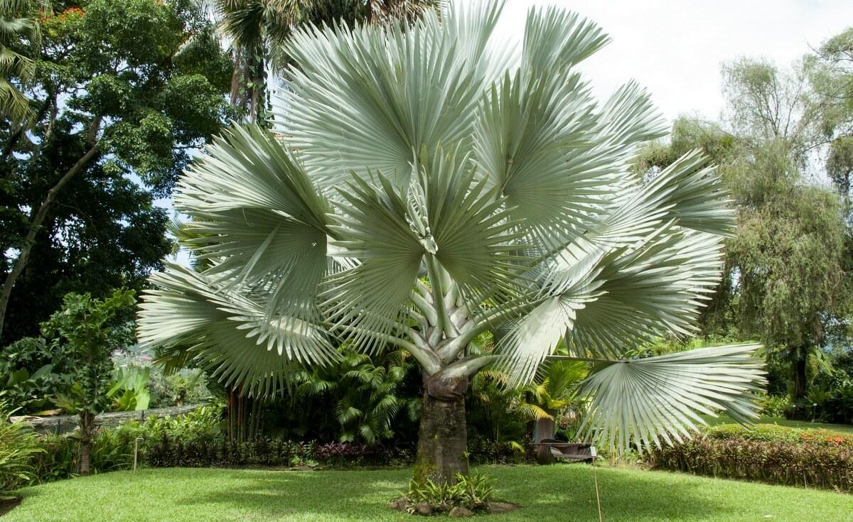 Palmeira azul com sua grande folhagem em um gramado de jardim externo
