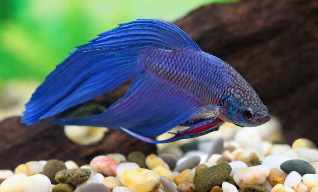 Exemplar de peixe beta (Betta splendens), representando a piscicultura ornamental