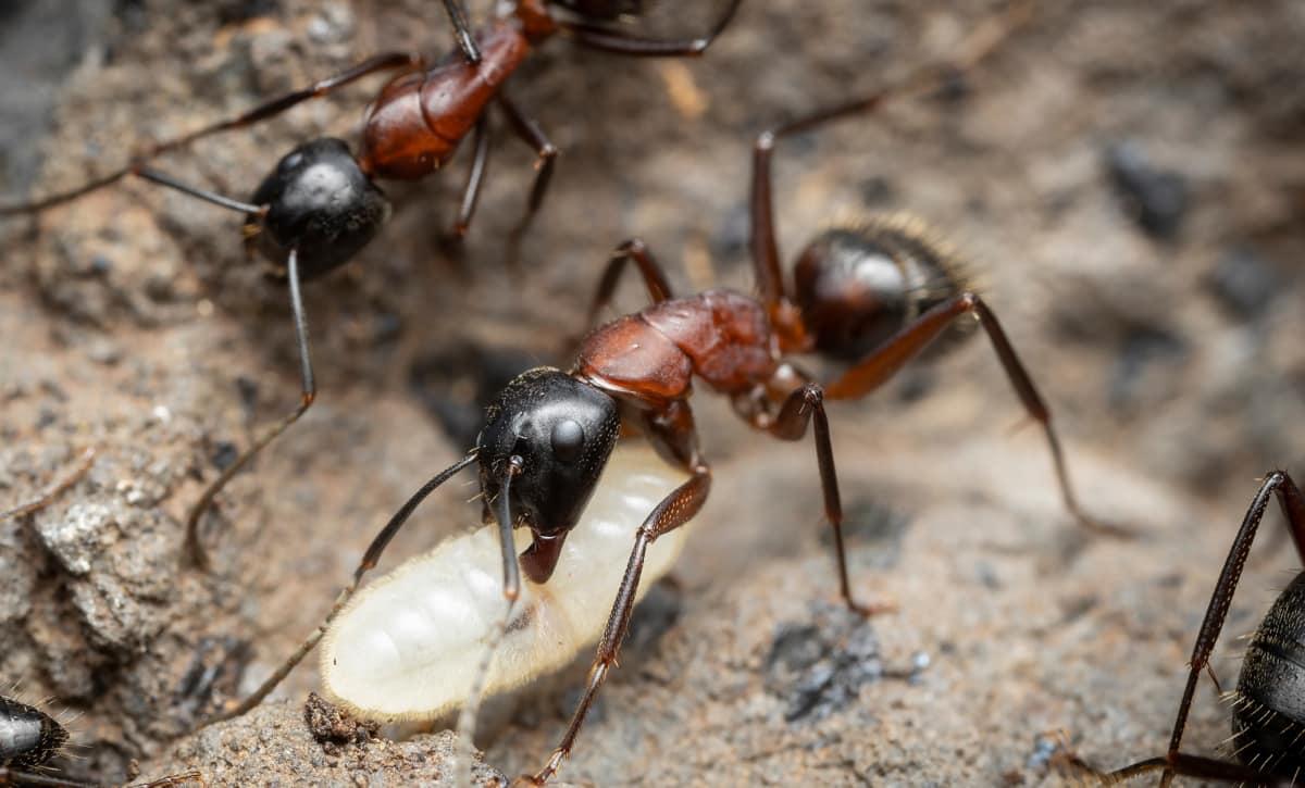 Abelhas x formigas gênero Camponotus é a principal inimiga