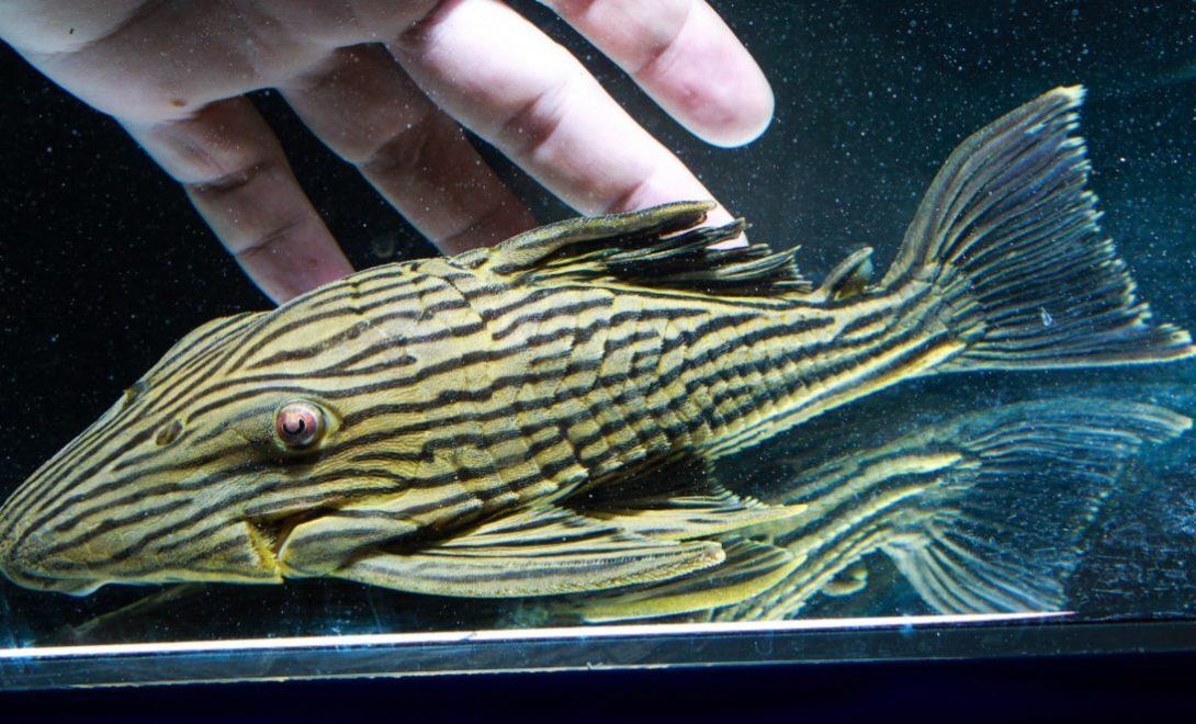 Peixe Cascudo Panaque: Espécie de peixe valorizada no mercado