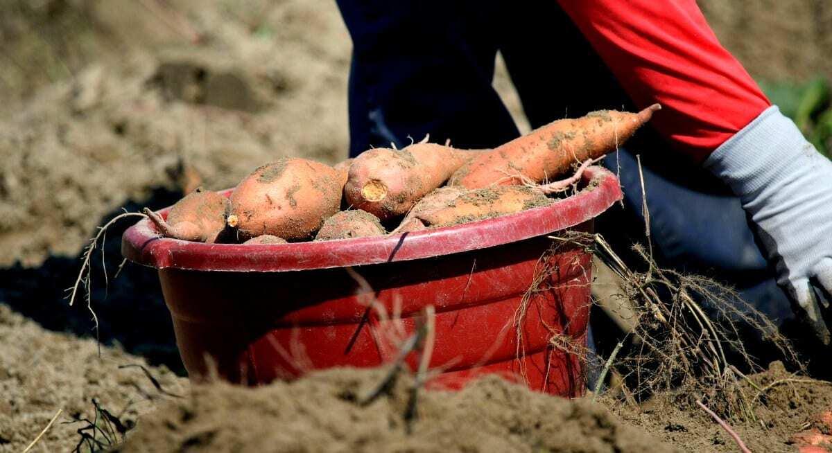 Colheita de batata-doce cuidados