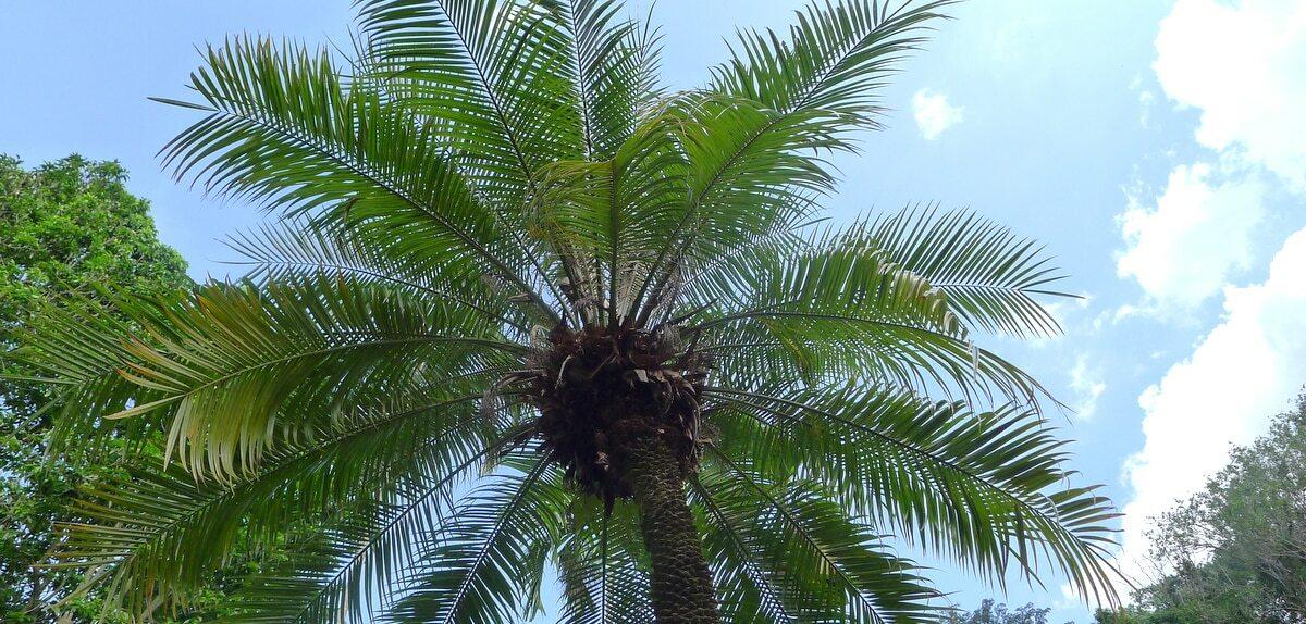 Palmeira fênix vista debaixo, com céu azul e outras árvores ao fundo