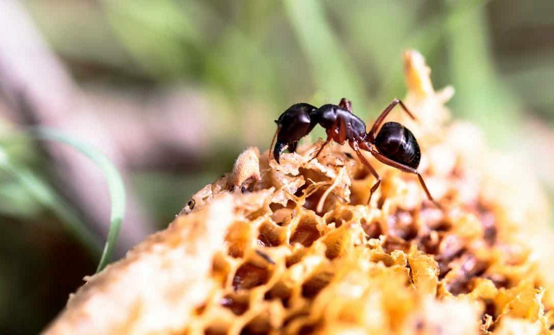 Abelhas x formigas: aprenda como proteger seu apiário