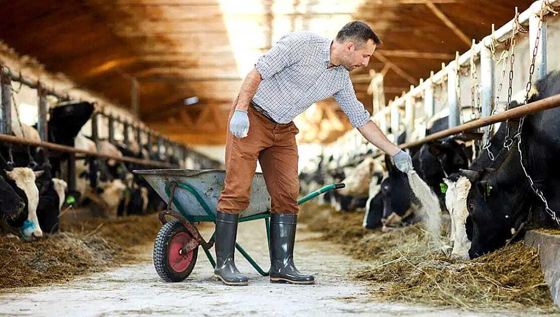 Funcionário de fazenda alimentando bovinos