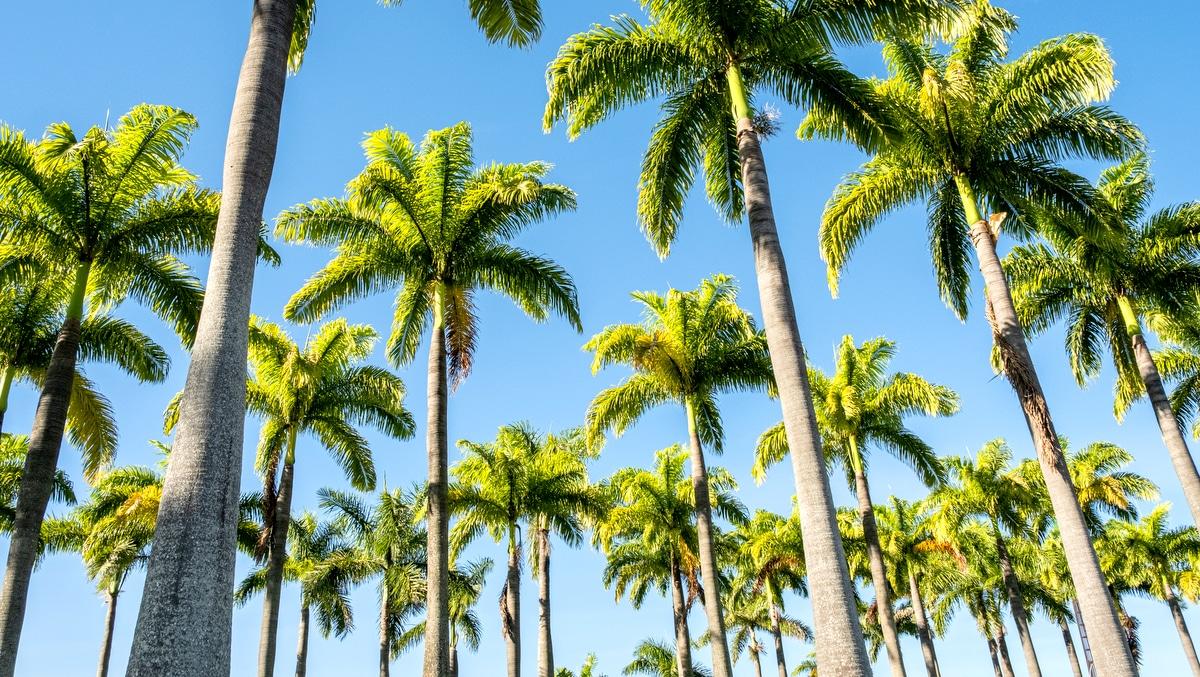 Fileiras de Palmeiras Imperiais com céu azul ao fundo
