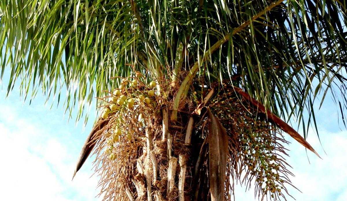 Detalhe da frutificação da palmeira macaúba