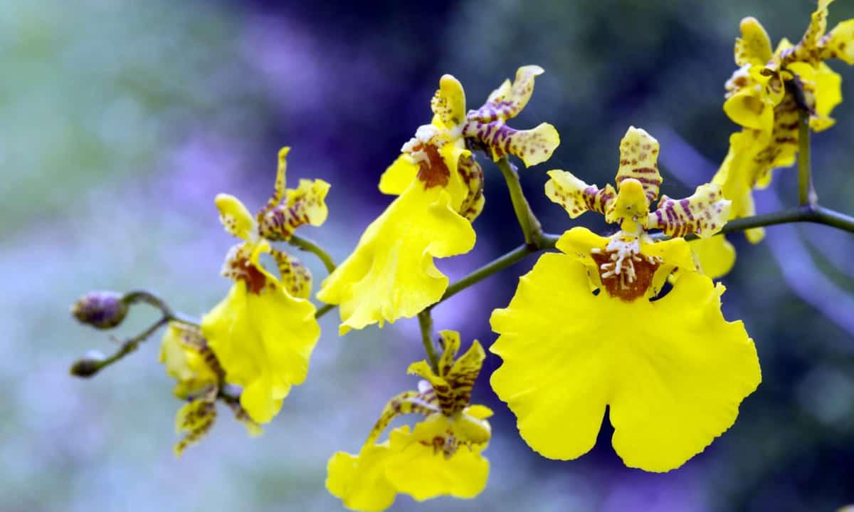 Orquídea opção para o jardim